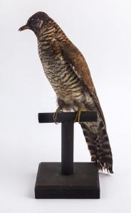 Cuckoo specimen