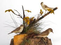 Sedge Warblers