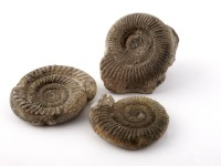 Ammonite group
