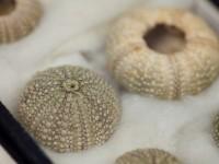 Sea Urchins - Lilian Bates